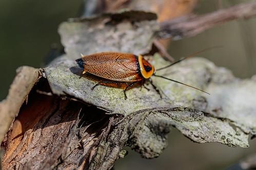 cockroach blattodea beautifulcockroach ellipsidionaustrale australellipsidioncockroach bush karawathaforest brisbane
