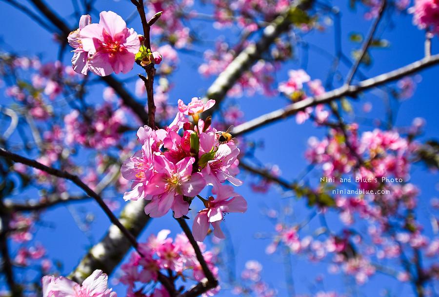 芬園花卉休憩園區-櫻花園區201811