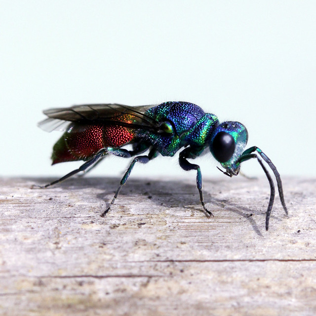 Insects - Jewel Wasp