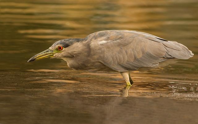 Black-crowned Night Heron Nycticorax, Nikon D7100, AF-S Nikkor 300mm f/4D IF-ED