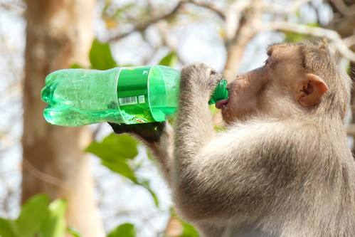 India - Kerala - Anthrippally Falls - Bonnet macaque monkey with bottle
