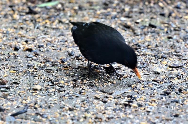 Blackkbird 16.02 (4)