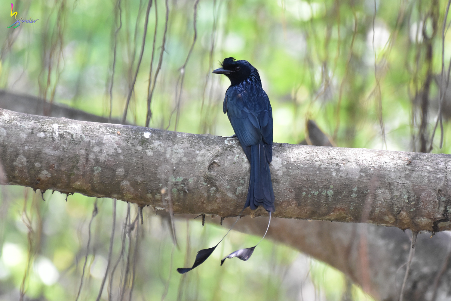 Greater_Racket-tailed_Drongo_4209