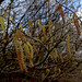 Catkins - Welcome sign of Spring