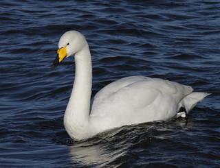 _MG_1090 Whooper Swan