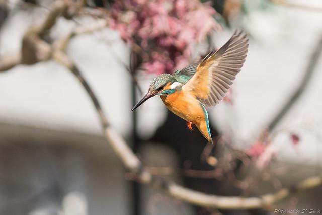 20180127-kingfisher-DSC_6150