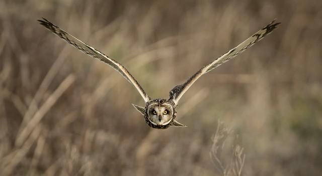 Short Eared Owl, Nikon D500, AF-S VR Nikkor 500mm f/4G ED