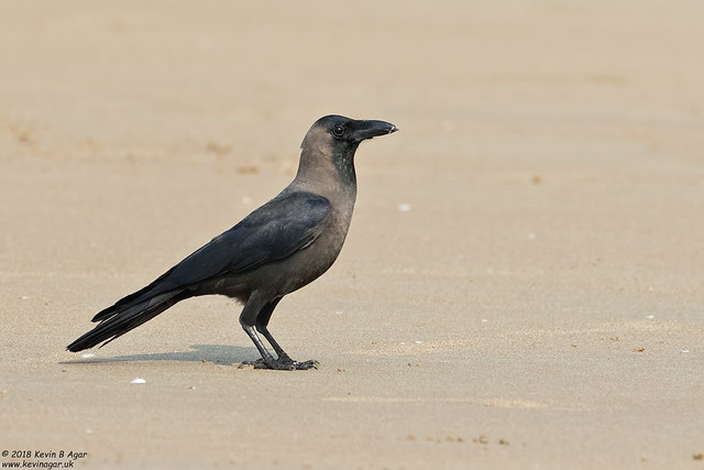 House Crow, Corvus splendens, Canon EOS 7D MARK II, Canon EF 500mm f/4L IS