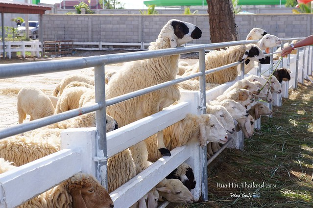 2015 Hua Hin Day 2- Swiss Sheep Farm 02