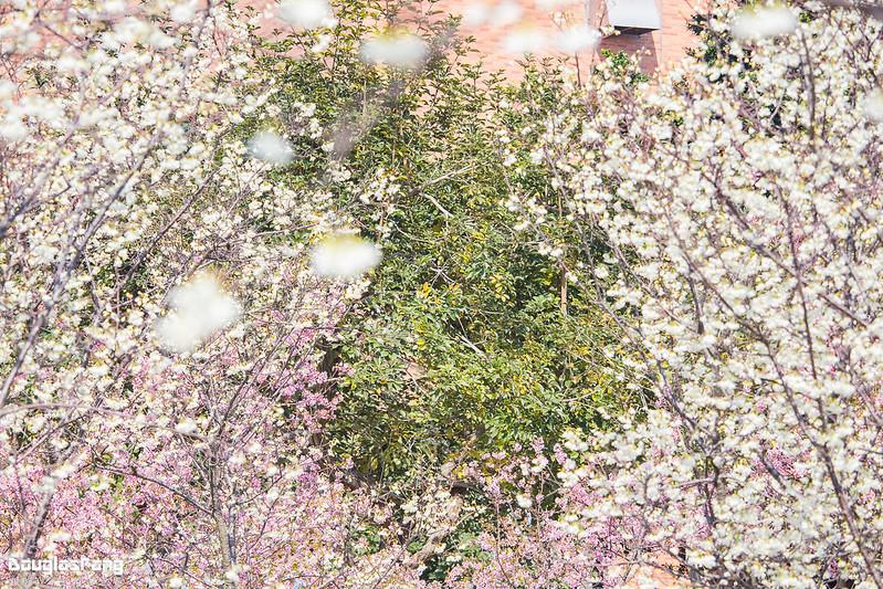 【遊記】台中后里中科立崴機電賞櫻花 (47)