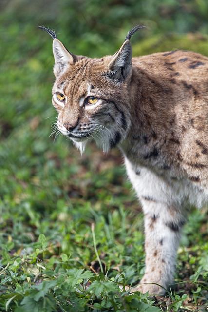 Attentive lynx in the grass