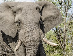 Elephant in Manyeleti Game Reserve