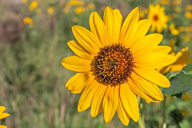 Sunflower-090614-20D_1174