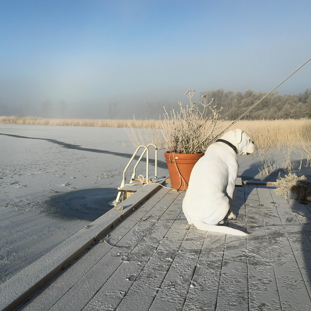 Boxer overlooking the frozen lake