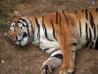 tigre_2