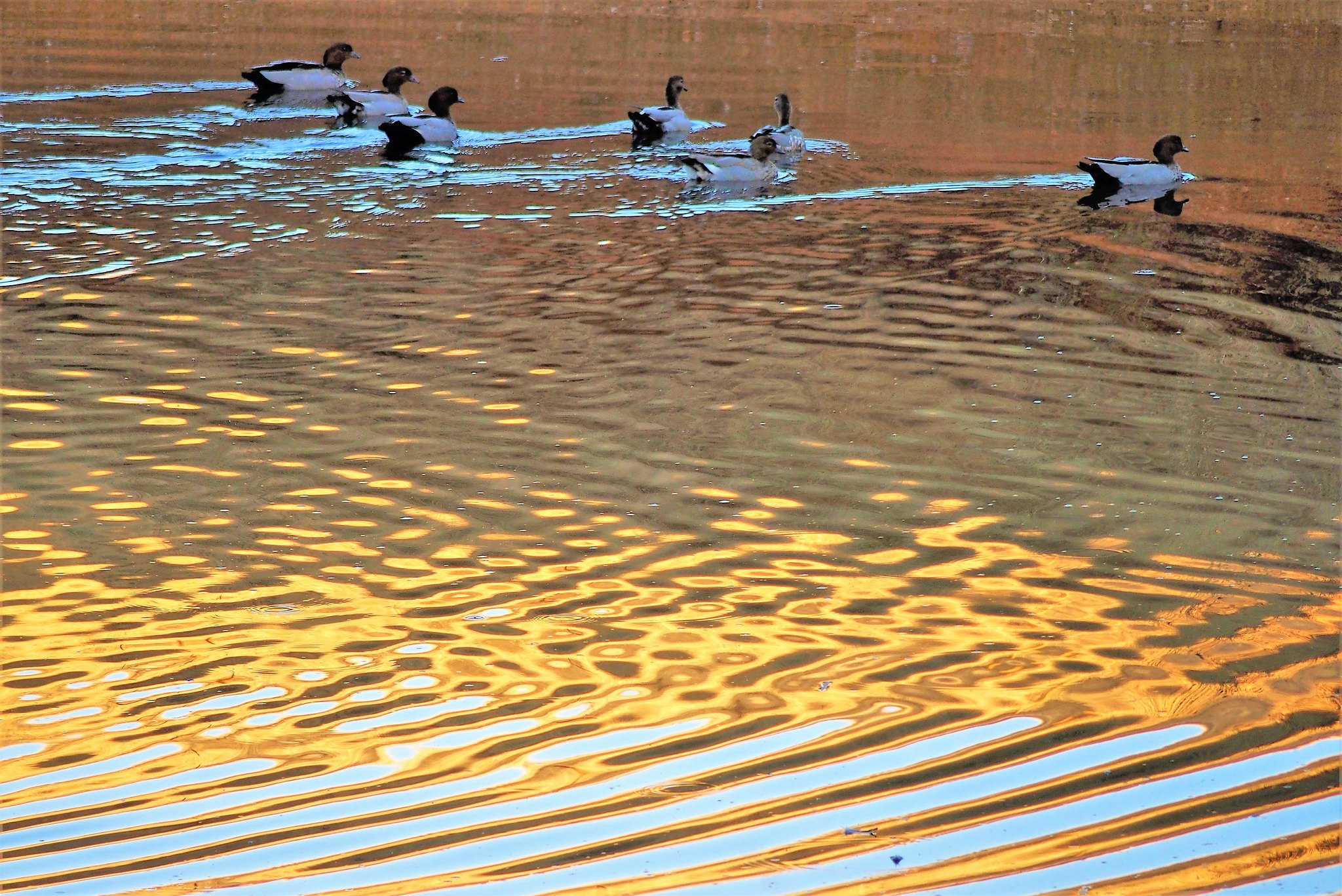 Wood Ducks and Water, Summer in South Australia