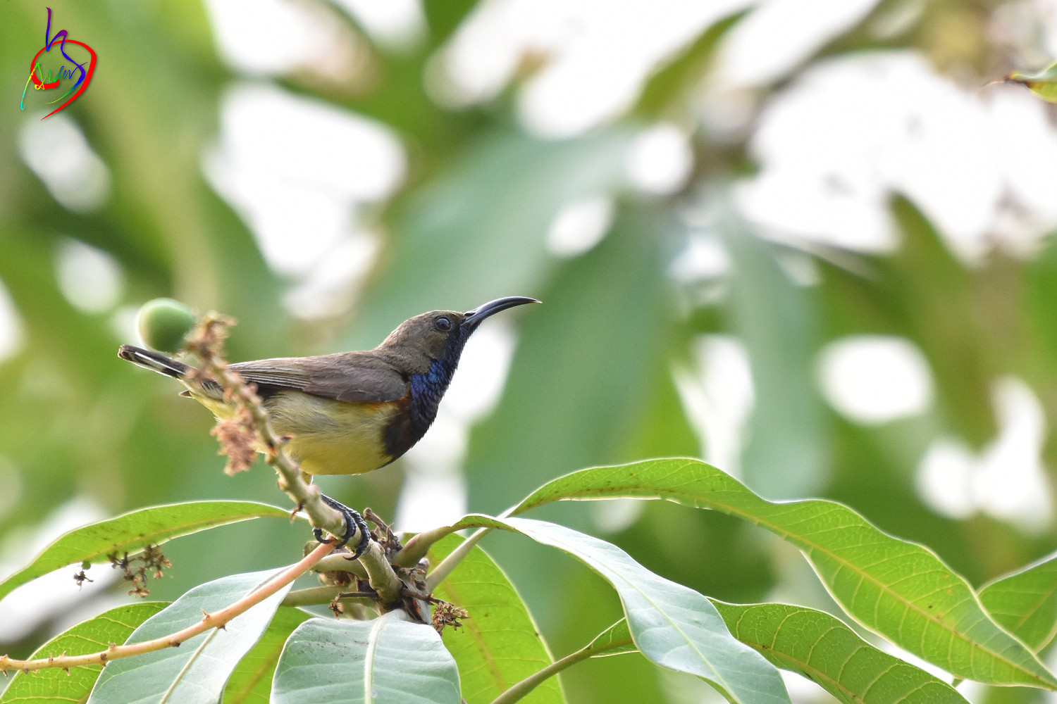 Olive-backed_Sunbird_0733