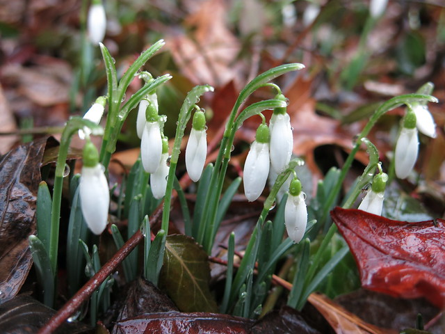 Snowdrops, on a rainy day