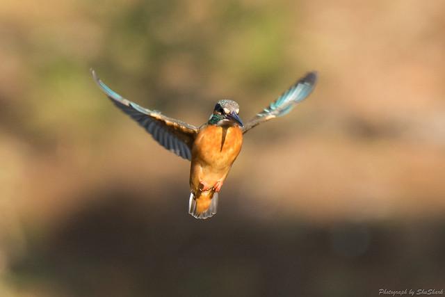 20180304-kingfisher-DSC_9493