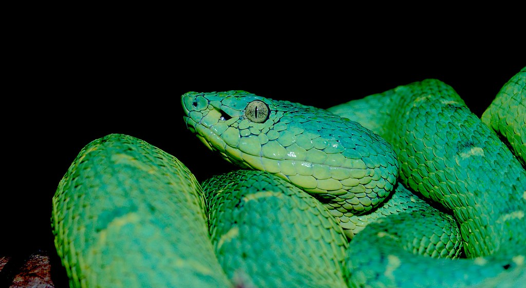 Side Striped Palm Pit Viper