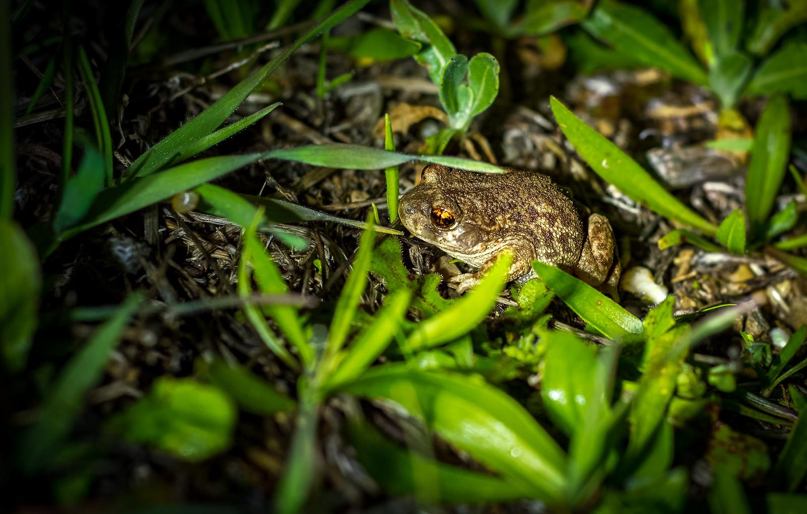 (Young) Iberian Midwife Toad/Sapo Partero Ibérico (Alytes cisternasii)