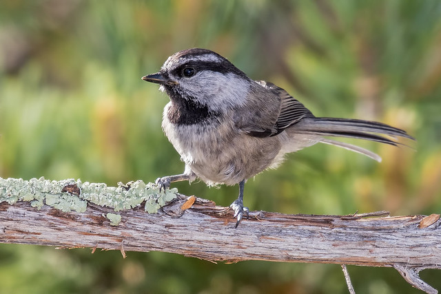 Mountain-Chickadee-57-7D2-020716
