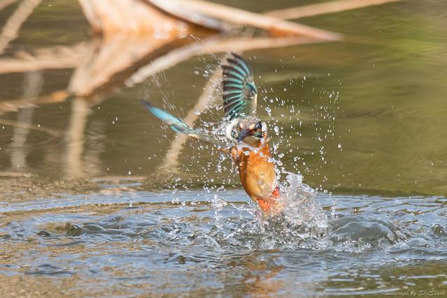 20180203-kingfisher-DSC_7092