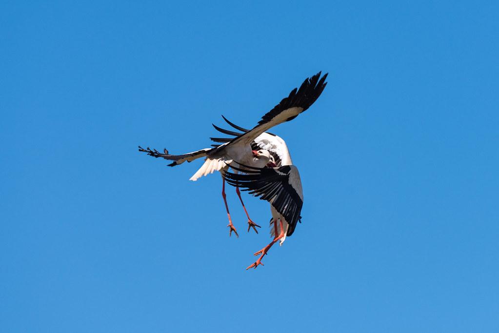 White Storks Fighting (Shot 7 of 11)