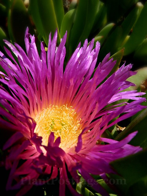 ice plant bloom
