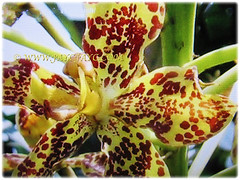 Gorgeous yellow flowers with maroon spots of Grammatophyllum speciosum (Giant Orchid, Tiger Orchid, Sugar Cane Orchid, Queen of the Orchids), Feb 27 2018