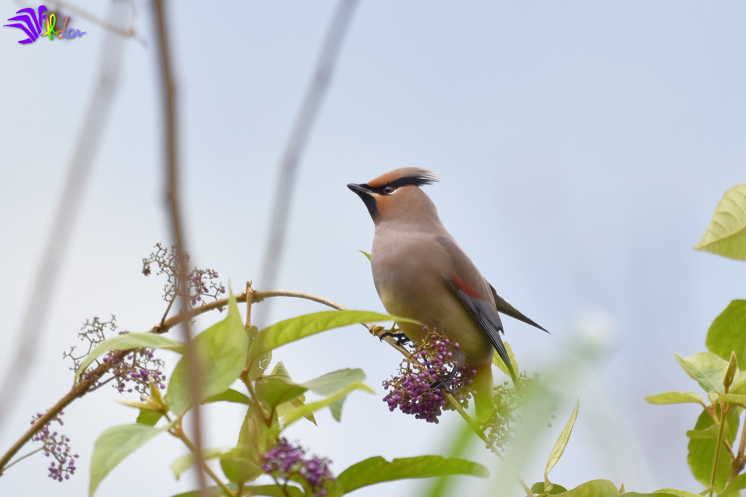 Japanese_Waxwing_5574