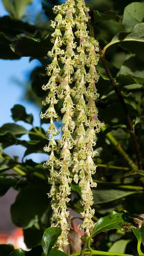 Signs of spring: silk tassel bush catkins