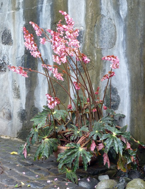 Begonia heracleifolia 39140749634_83d54cae9f_o