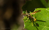 Western Paper Wasp (Mischocyttarus flavitarsis) by Nancy Asquith