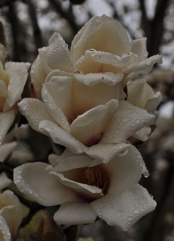 Magnolia denudata (7)