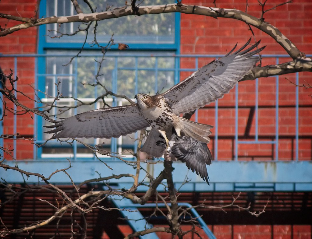 Red-tail catches a pigeon