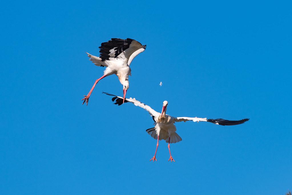 White Storks Fighting (Shot 9 of 11)