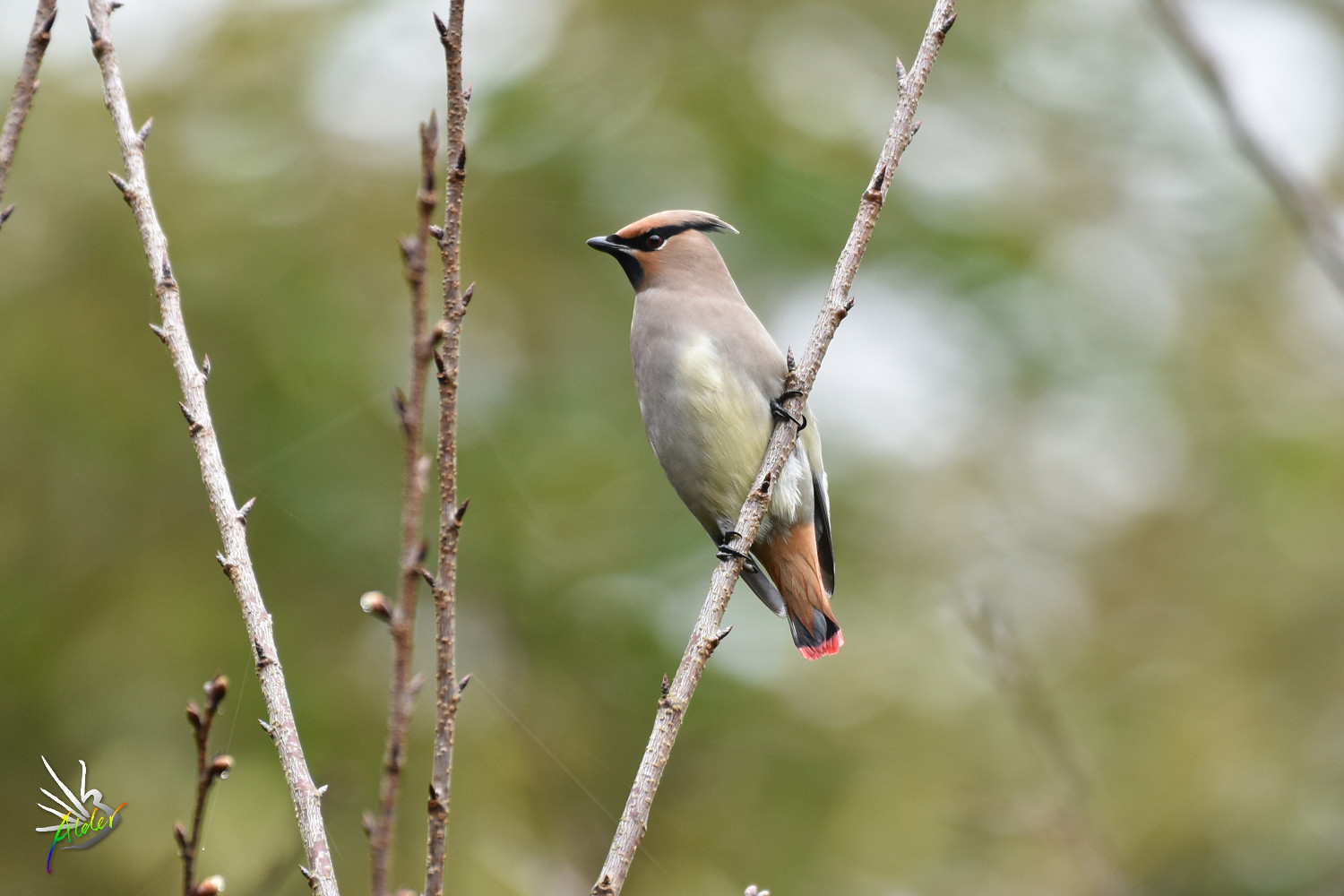 Japanese_Waxwing_7753