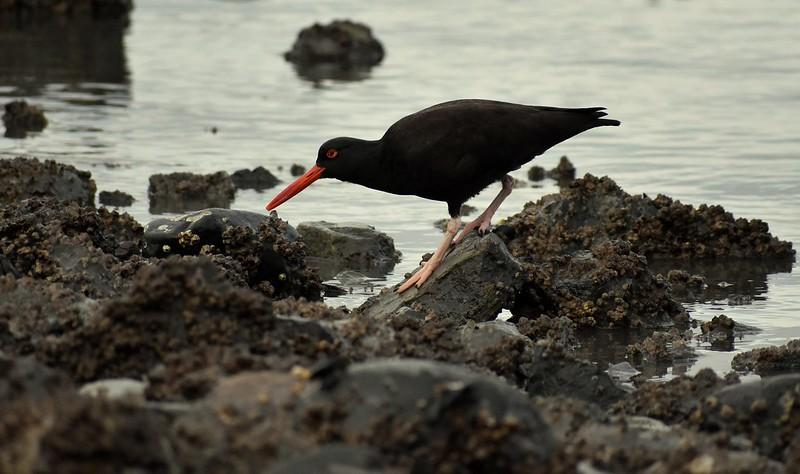 Black Oystercatcher - Victoria