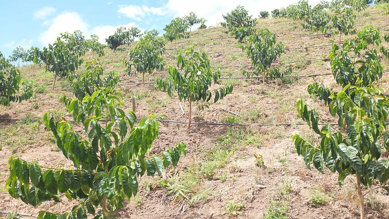 Cà phê Typiaca từ Ecuador