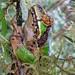 Pelodryadidae: Litoria angiana (day-roost)
