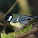 Great Tit.  Parus major. Bluebell Woods. 16/02/2018