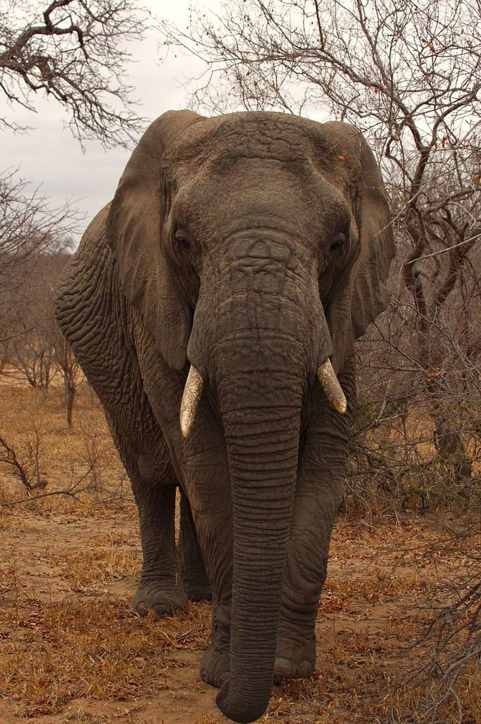 Elephant in Tshukudu