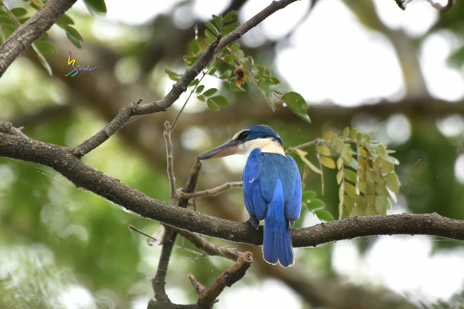 Collared_Kingfisher_3541