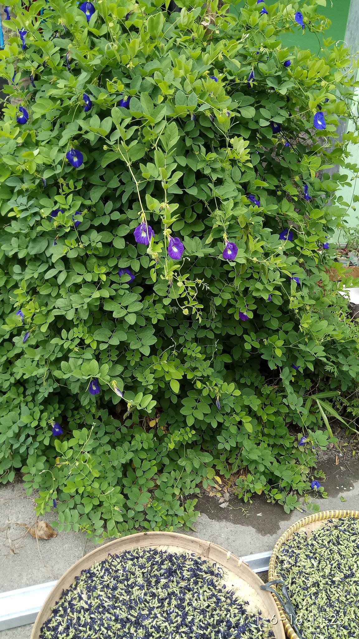bunga telang martani