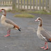 EGYPTIAN GEESE in COUNTRY PARK_DSC_7708_LR_2.5