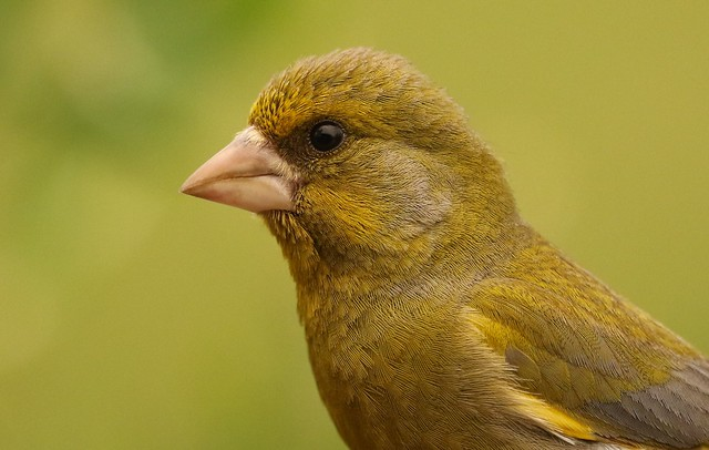 Cock Greenfinch