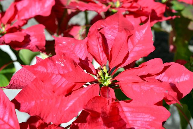 Christmas flower, Christmas flower