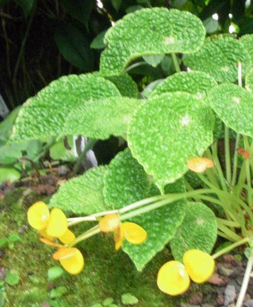 Begonia microsperma 28312343579_dda1cce966_o