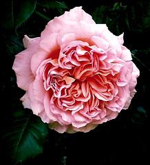 * Ein Rosentraum *